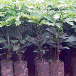 Cây giống cà phê TS1 - Cafe Trường Sơn 1