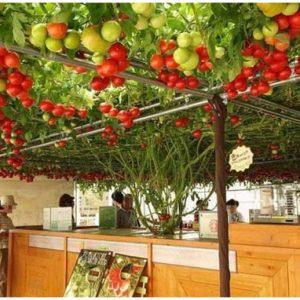 Cà chua leo giàn F1 - Cà chua bạch tuộc siêu năng suất - H2