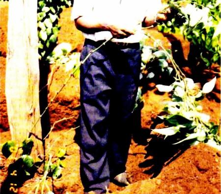 Cắt bỏ lá trước khi đôn tiêu (Phần chôn xuống đất)