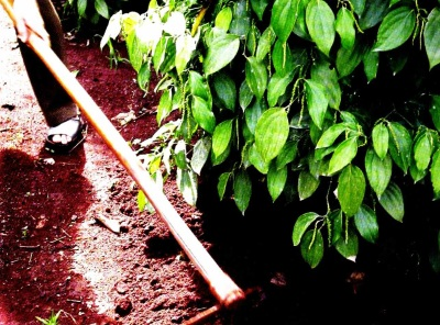 Xăm xới đất sau khi bón phân hóa học cho tiêu