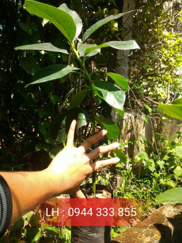 Bán cây giống bơ booth 7 - Bơ sáp trái vụ - Hình 01