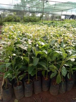 Hình ảnh cây bơ Hass - Vườn ươm Tiến Đạt