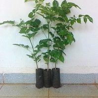 Bán cây giống núc nác rừng - Núc nác lá nhỏ