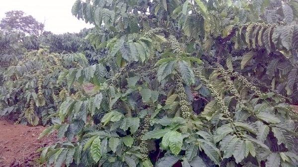Hình ảnh cây cà phê vối giai đoạn thu hoạch