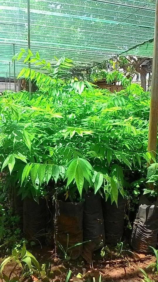 Bán cây giống lồng mức làm trụ sống trồng tiêu 2
