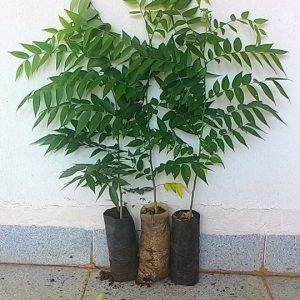 Cây giống lồng mức làm trụ sống trồng tiêu