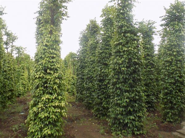 Bán cây giống lồng mức làm trụ sống trồng tiêu 1