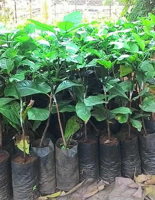 Bán cây giống cà phê TR4 - Cà phê vối cao sản