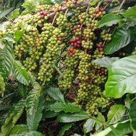 Giống cà phê cao sản TR9