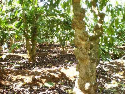 Hình ảnh cây cà phê
