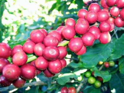 Hình ảnh trái cà phê