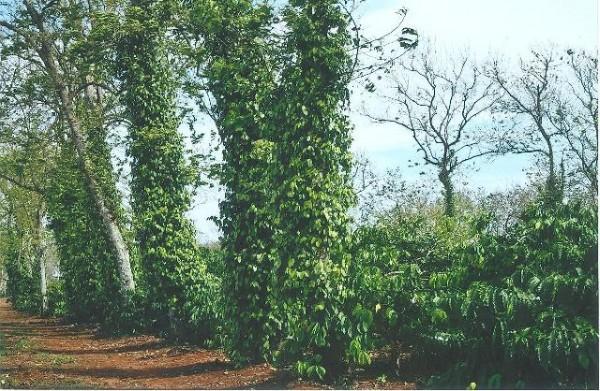 Tận dụng hàng cây chắn gió để trồng tiêu