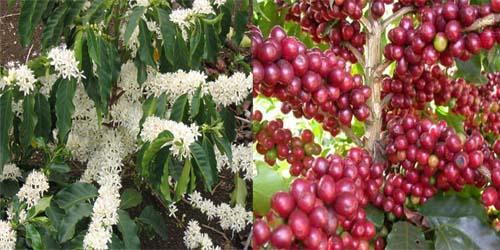 Thông tin cơ bản, nguồn gốc xuất xứ của cây cà phê
