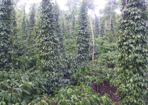Tiêu xen cà phê (trồng ở góc ngã tư bồn cà phê)