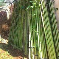 Bán cây gòn làm trụ trồng tiêu