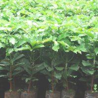 Cây giống cà phê xanh lùn TS5