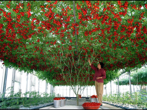 Cà chua leo giàn F1 - Cà chua bạch tuộc siêu năng suất - H1