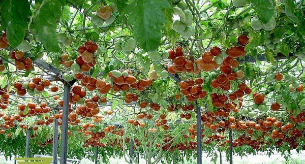Hạt giống cà chua bạch tuộc F1 - Cà chua leo giàn siêu năng suất 2