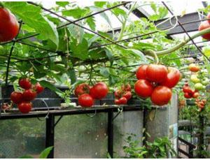 Hạt giống cà chua bạch tuộc F1 - Cà chua leo giàn siêu năng suất 1