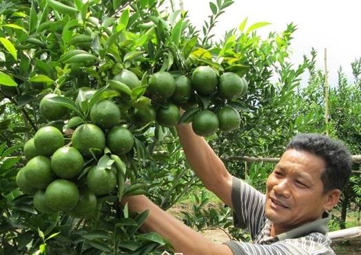 Kỹ thuật chăm sóc cây quýt đường