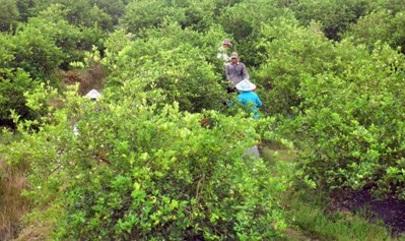 Kỹ thuật trồng và chăm sóc cây chanh
