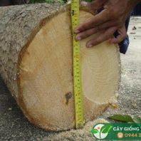 Hình ảnh gỗ cây gáo vàng