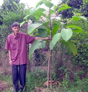 Hình ảnh cây gáo vàng Vĩnh Tiến 3 tháng 20 ngày tuổi