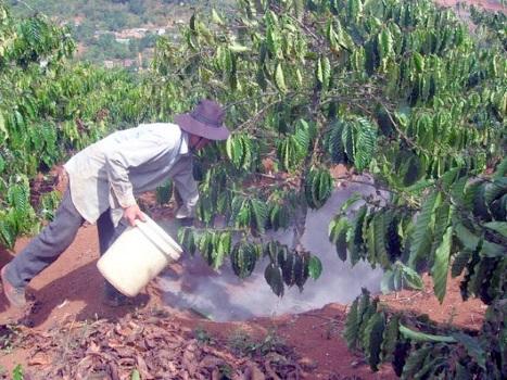 Kỹ thuật bón phân cho cây cà phê