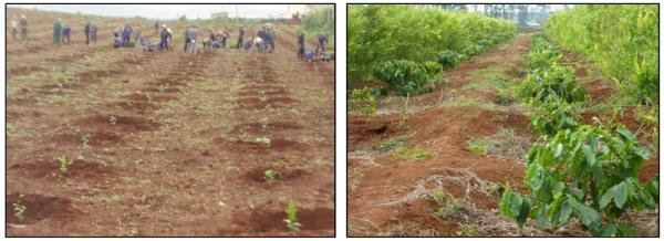 Kỹ thuật trồng cà phê: Trồng mới và tái canh