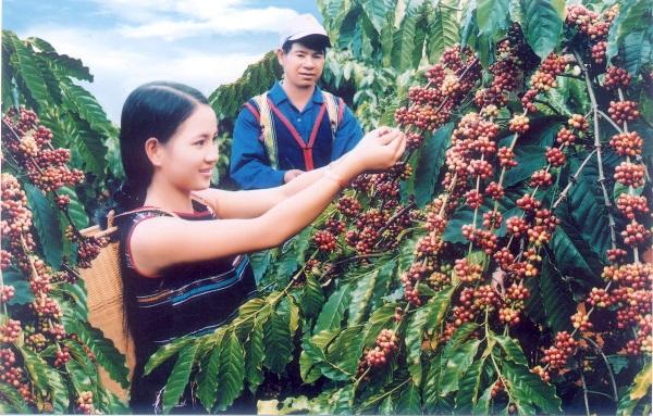 Quy trình kỹ thuật trồng và chăm sóc cây cà phê