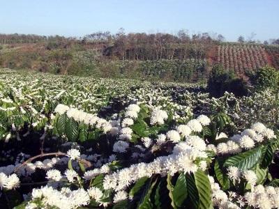 Tưới cà phê tập trung giúp cây ra hoa đồng loạt