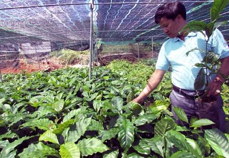 Cây cà phê thực sinh đạt yêu cầu đủ điều kiện đem trồng