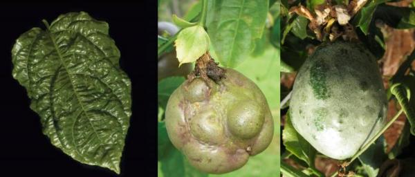 Bệnh cứng trái (hóa bần vỏ trái) cây chanh dây. Ảnh: nanobacsuper.com