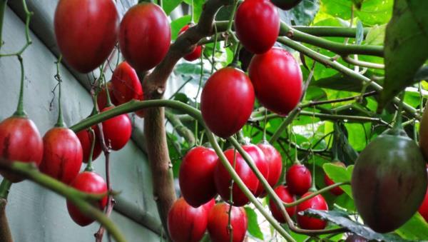 Kỹ thuật trồng và chăm sóc cây cà chua thân gỗ Magic-S (Tamarillo)
