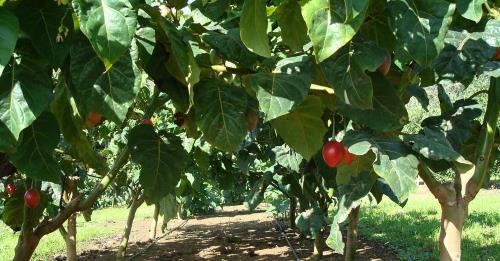 Mật độ trồng cà chua thân gỗ