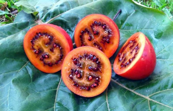 Quả cà chua thân gỗ