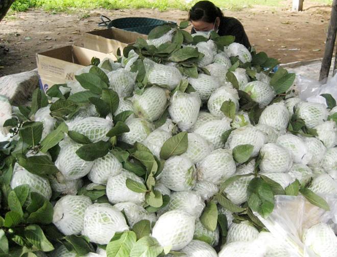 Thu hoạch và bảo quản ổi lê