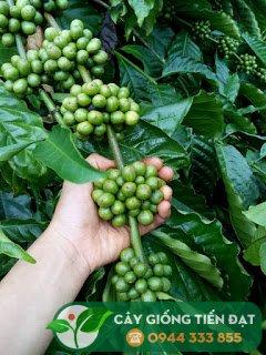 Giống cà phê dây Thuận An