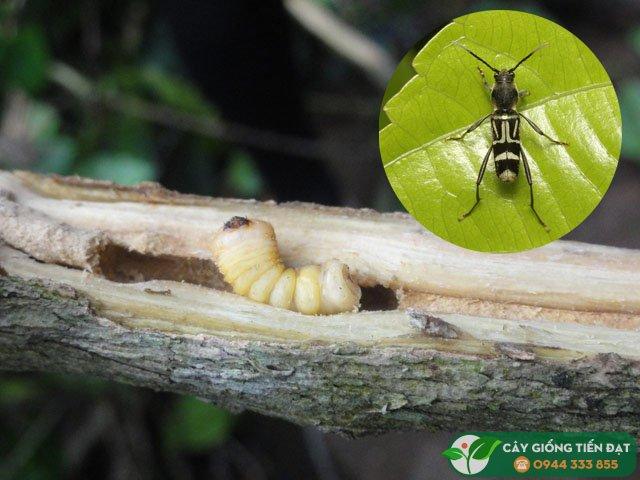 Sâu đục thân mình trắng hại cà phê - Xylotrechus quadripes