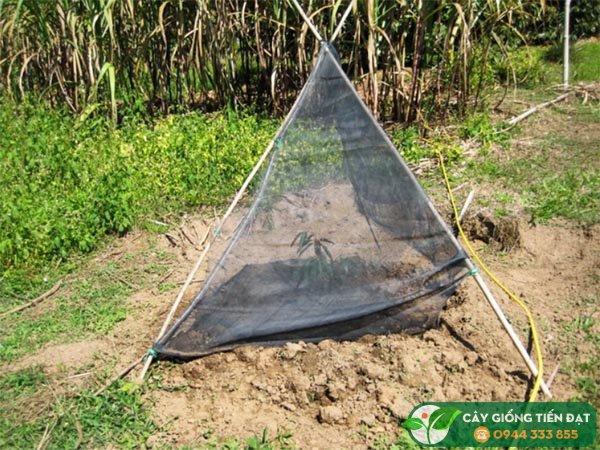 Chăm sóc cây sầu riêng mới trồng (Che nắng cho cây con)