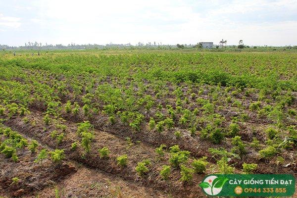 Ở vùng đồng bằng nên trồng đinh lăng trên luống cao