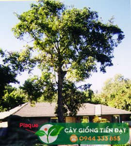 Hình ảnh cây bơ Hass đầu tiên (cây mẹ) - 430 West Road, La Habra Heights, California