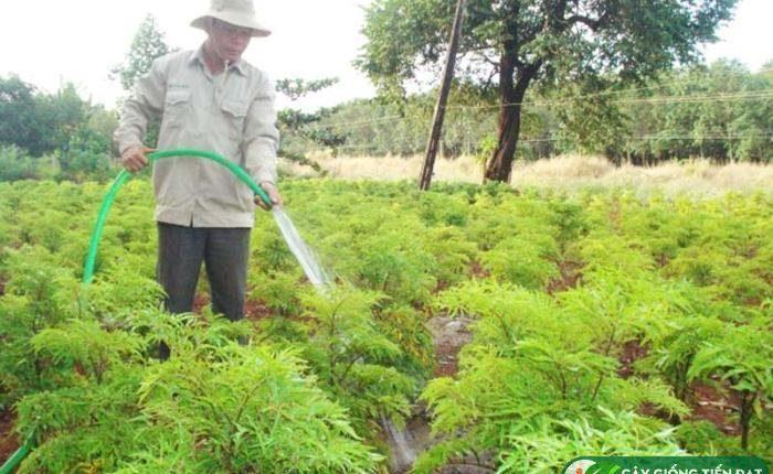 Kỹ thuật trồng đinh lăng