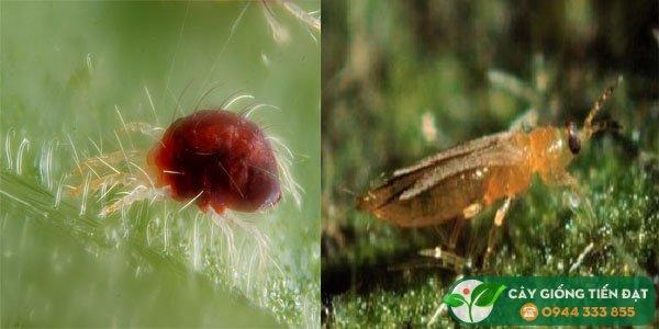 Nhện đỏ - rầy lửa (bọ trĩ) hại sầu riêng