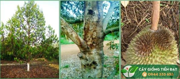 Phòng trừ sâu bệnh trên cây sầu riêng