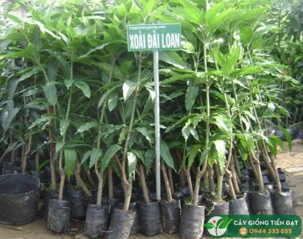 Bán cây giống xoài Đài Loan chuẩn giống sạch bệnh