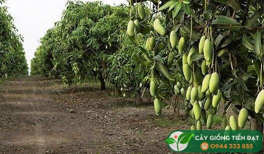 Cây xoài thái 5 tuổi có thể cho năng suất 70kg/cây
