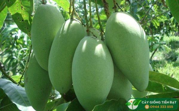 Cây giống xoài Đài Loan - Giống xoài ngon trái to giá trị kinh tế cao 1
