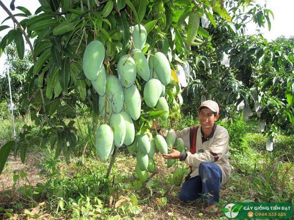 Cây giống xoài Đài Loan - Giống xoài ngon trái to giá trị kinh tế cao 2