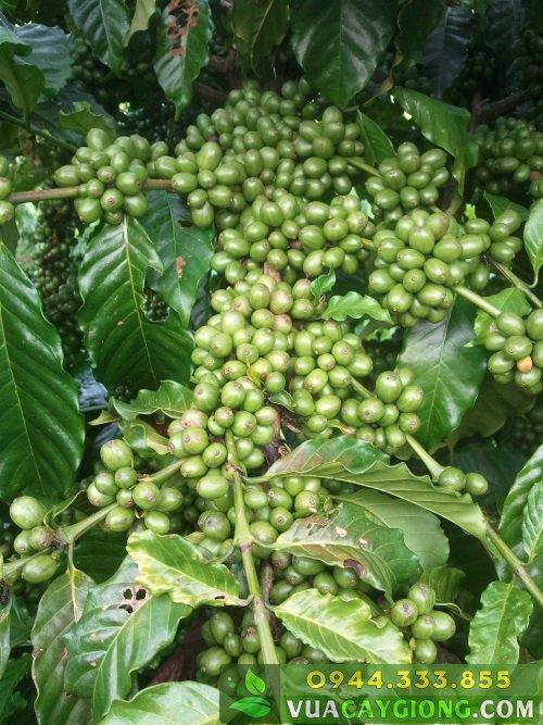 Cây giống cà phê Thiện Trường - Năng suất cao 6-8 tấn, nhiều ưu điểm 1